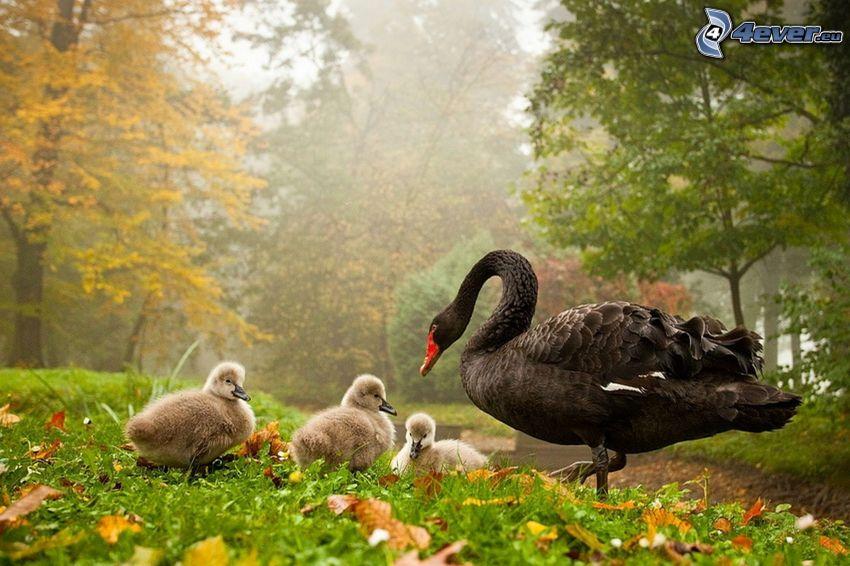 cisne y cachorros, bosque, hierba, hojas secas