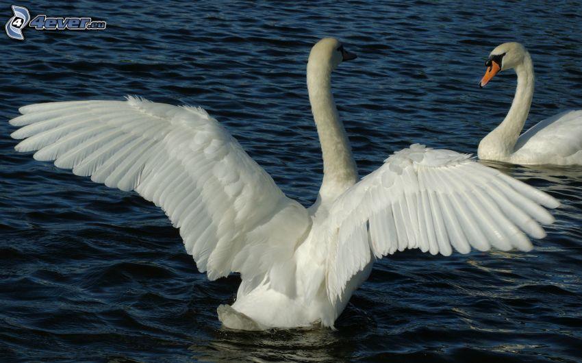 cisnes, alas, agua