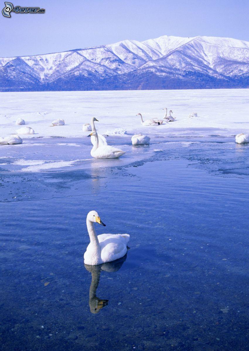 cisnes, lago congelado, colinas cubiertas de nieve