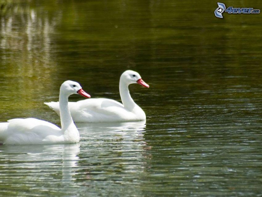 cisnes, nivel de agua