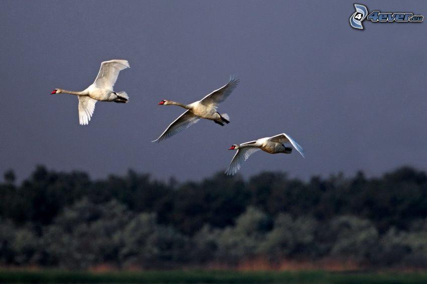 cisnes, vuelo