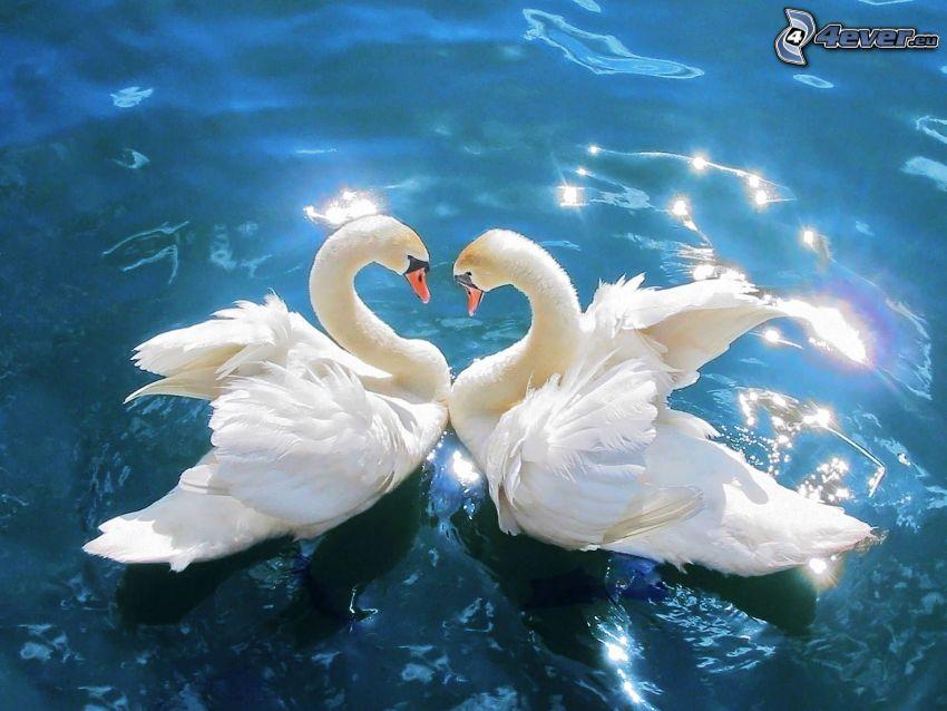 cisnes enamorados, agua