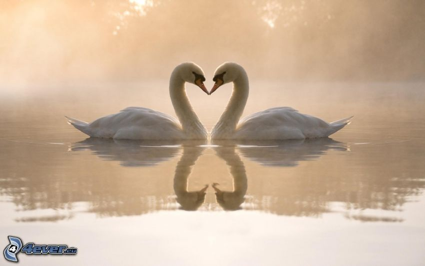 cisnes enamorados, corazón