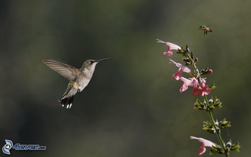 colibrí, abeja, flor rosa