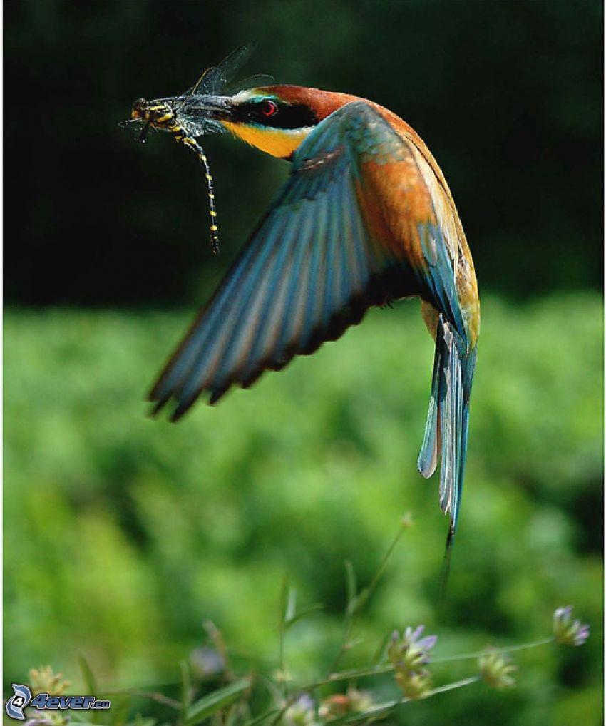 colibrí, libélula