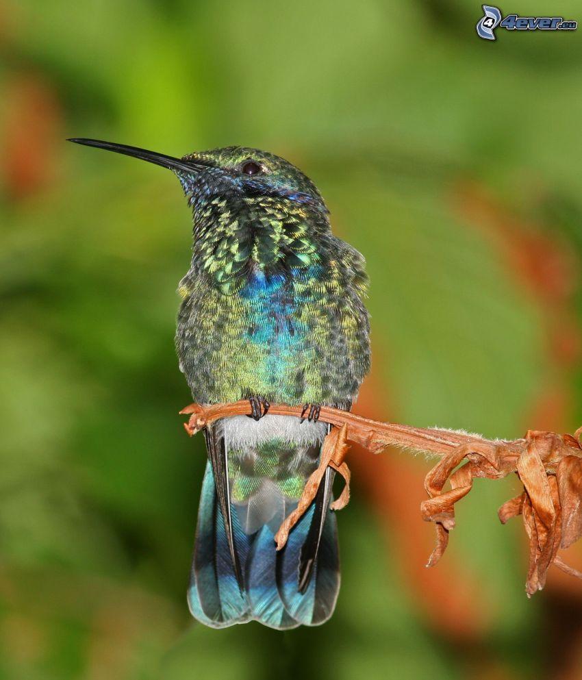 colibrí, planta