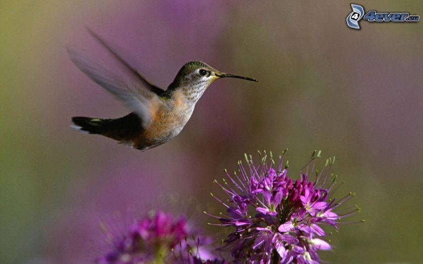 colibrí, vuelo, flor púrpura