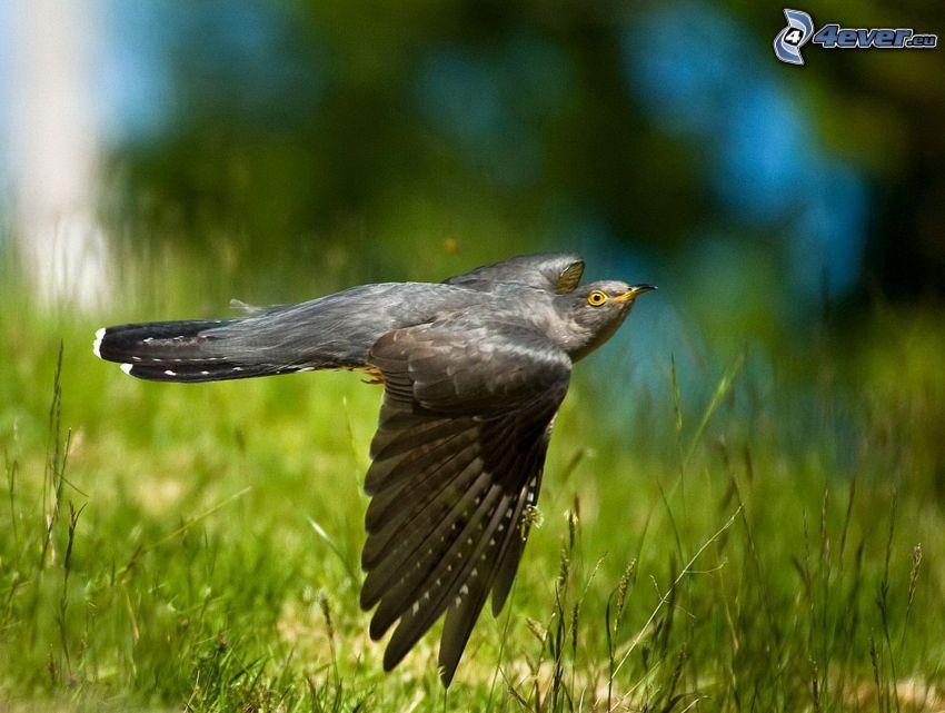 cuco, vuelo, hierba