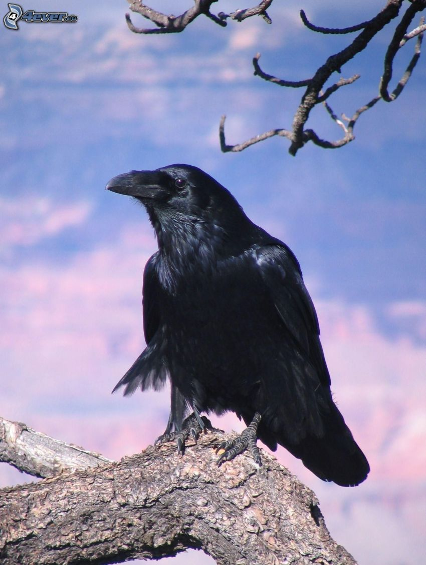 cuervo, madera