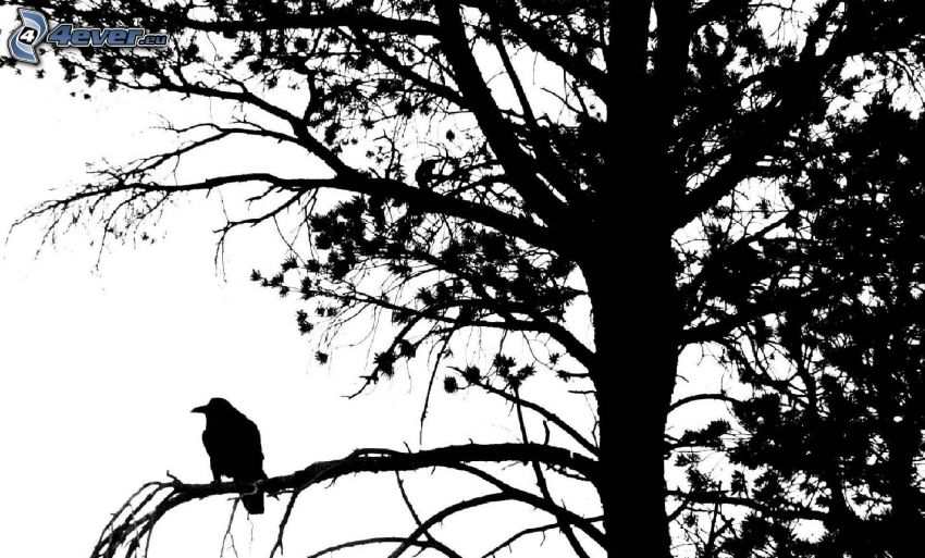 cuervo, silueta del ave, silueta de un árbol