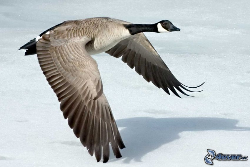 ganso, nieve, alas, vuelo