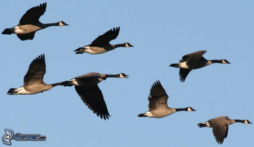 gansos, vuelo
