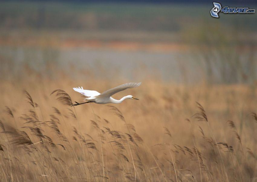 garza, vuelo, hierba seca
