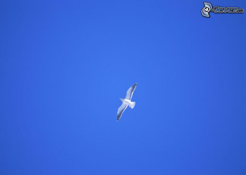 gaviota, vuelo, cielo azul