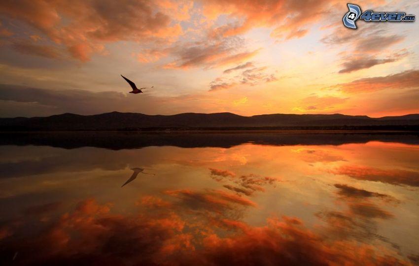 gaviota, vuelo, lago, después de la puesta del sol, cielo anaranjado