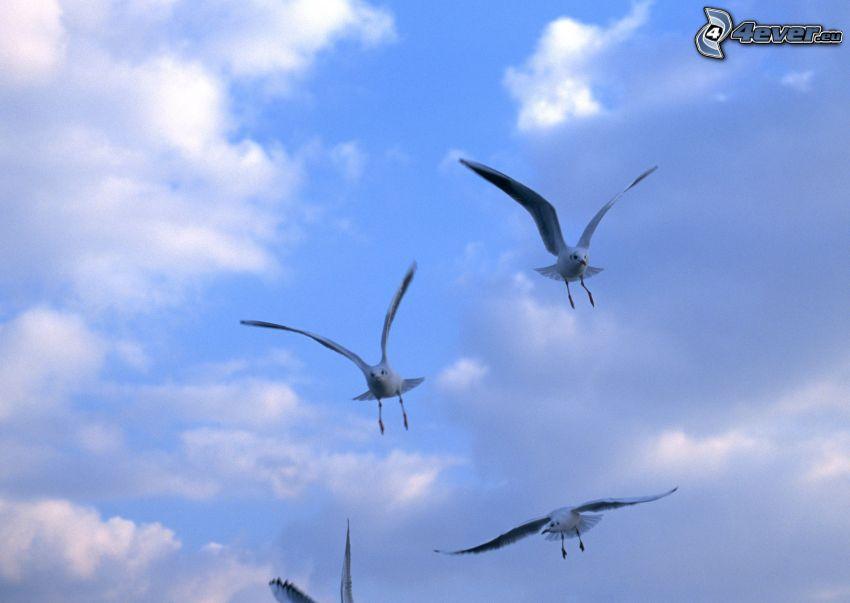 gaviotas, vuelo