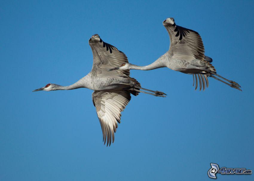 Grúas pájaro, vuelo