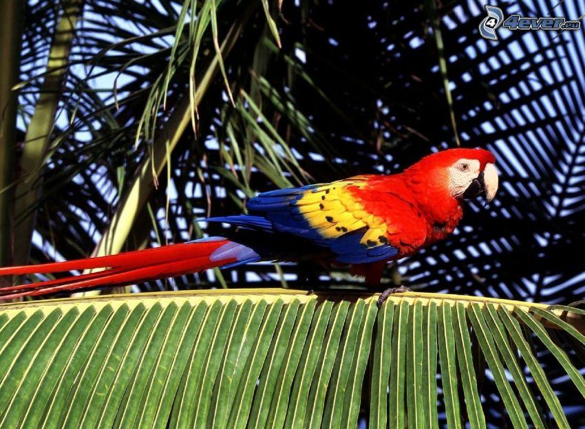 Guacamayo Ara, hoja de palmera