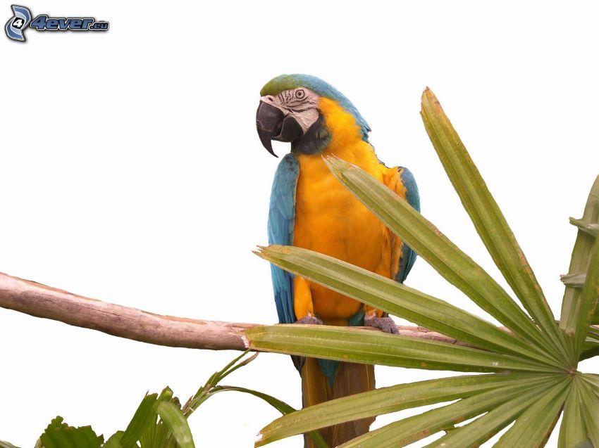 Guacamayo Ara, rama, hoja de palmera