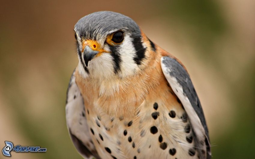 halcón, ave de rapiña