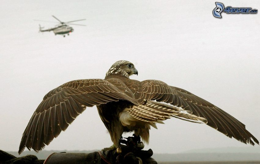 halcón, helicóptero