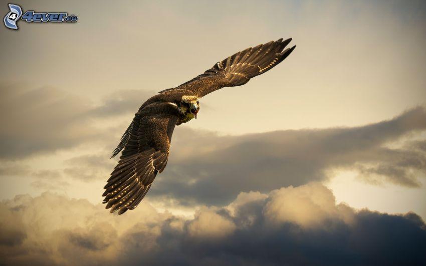 halcón, vuelo, alas, nubes