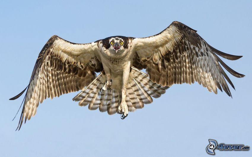 halcón, vuelo, alas