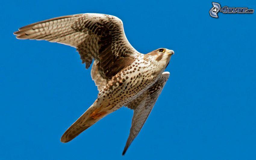halcón, vuelo, cielo azul