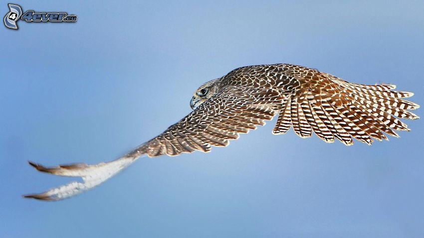 halcón, vuelo