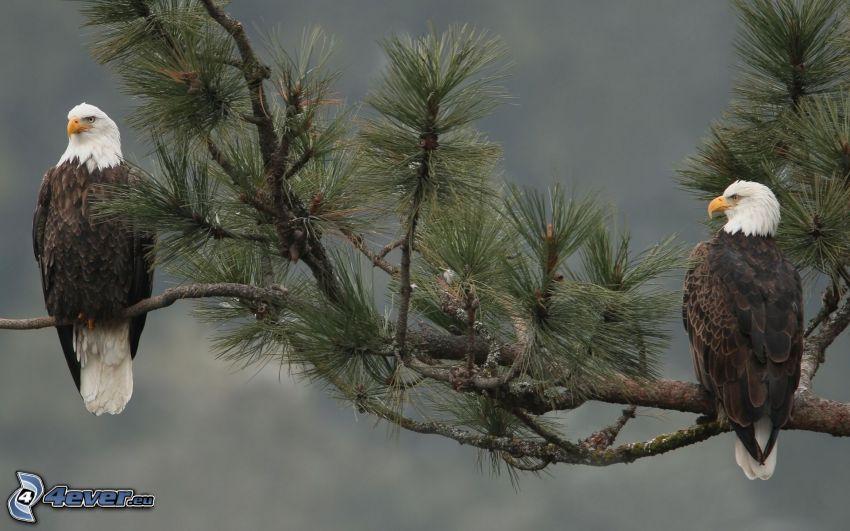 Haliaeetus leucocephalus, rama, pino