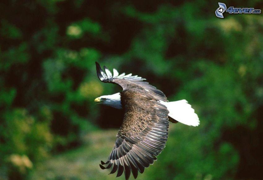 Haliaeetus leucocephalus, vuelo, alas