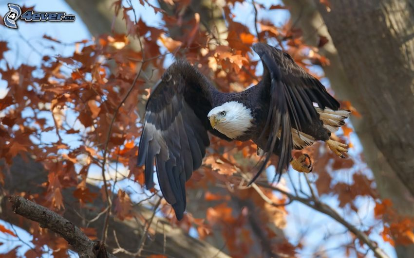 Haliaeetus leucocephalus, vuelo, árbol otoñal