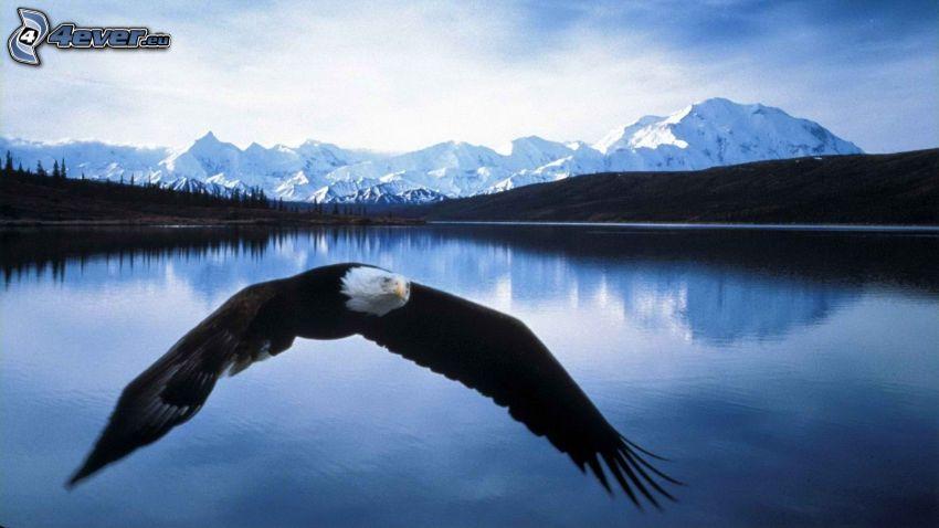 Haliaeetus leucocephalus, vuelo, lago, montañas nevadas