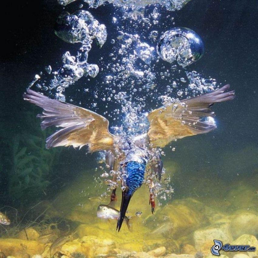 martín pescador, burbujas, caza