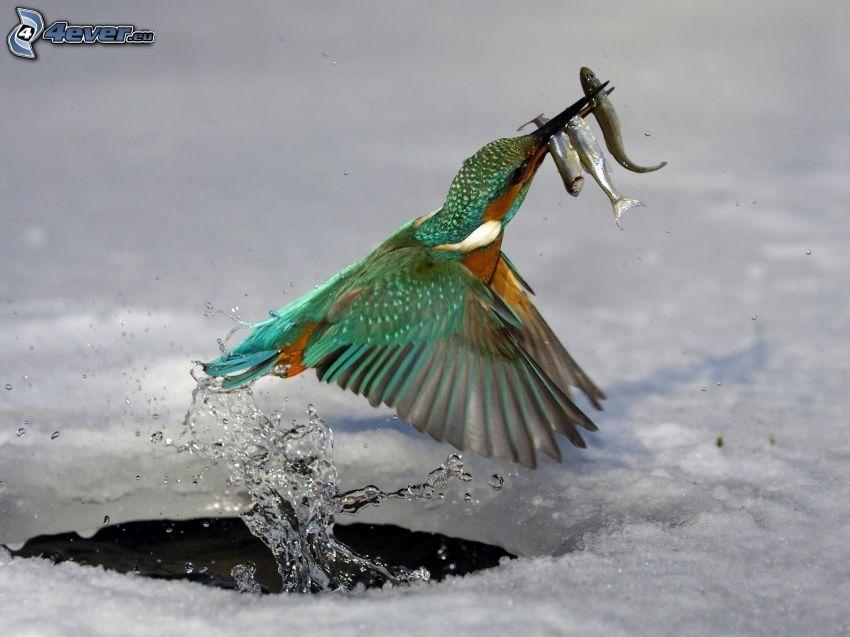 martín pescador, peces, agujero, hielo