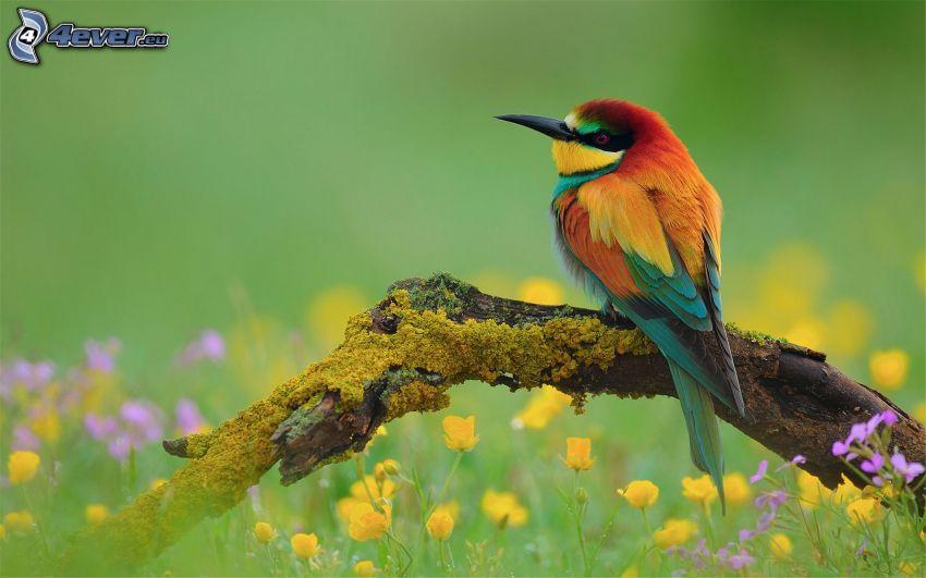 Merops apiaster, pájaro en una rama, flores de campo, flores amarillas