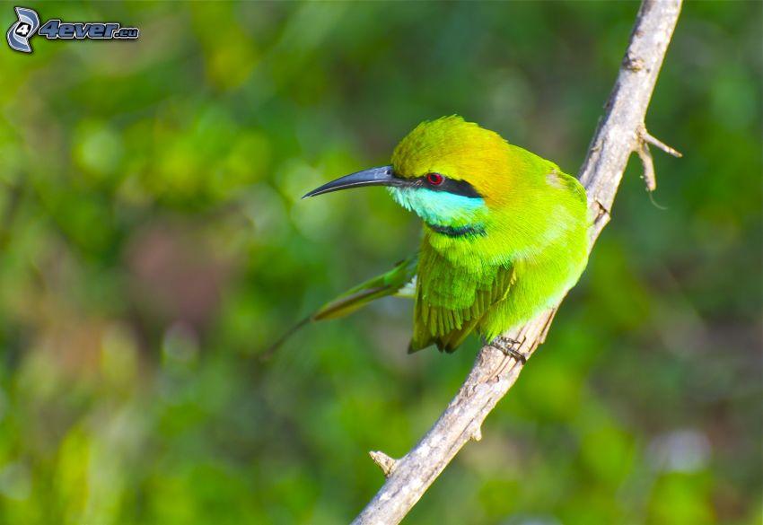 Merops apiaster, pájaro en una rama