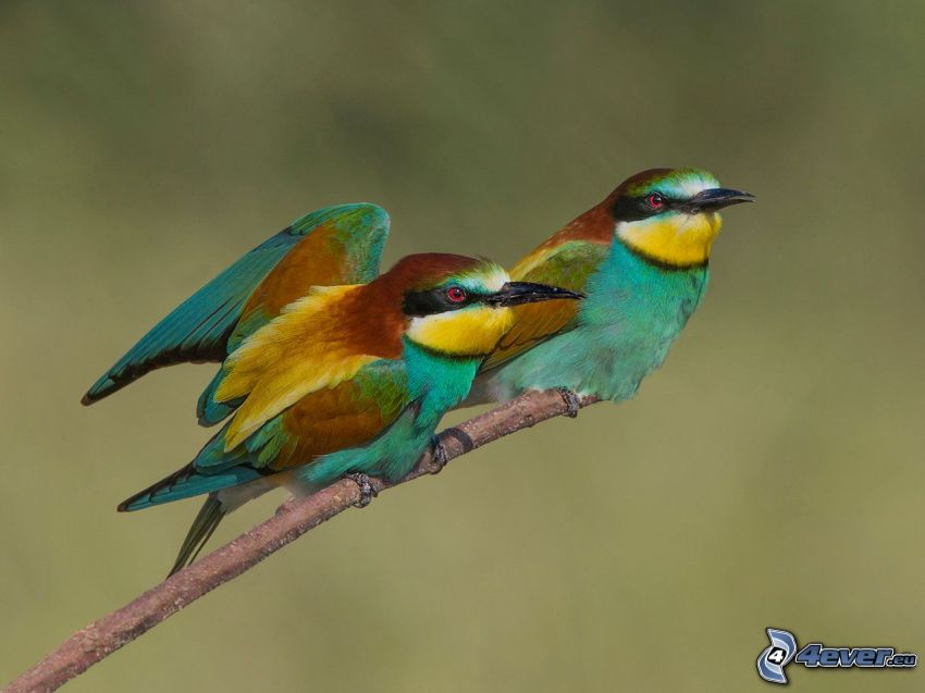 Merops apiaster, pájaros en una rama