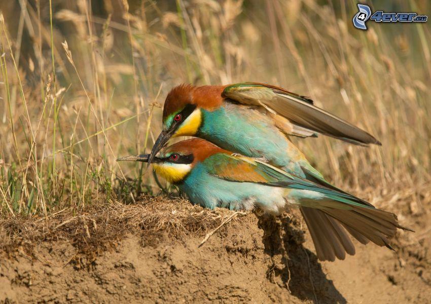 Merops apiaster, pareja, paja de hierba