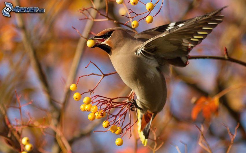 pájaro, alas, bayas