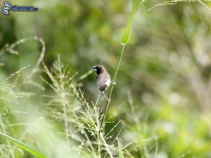pájaro, brizna de hierba