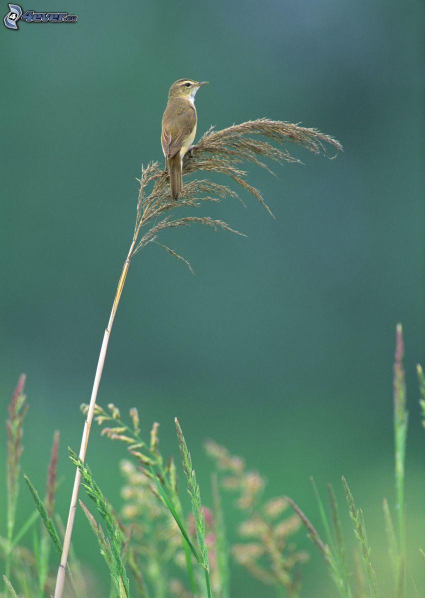 pájaro, hierba seca