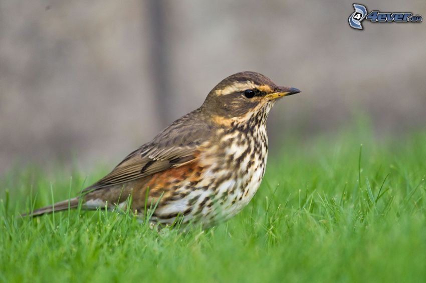 pájaro, hierba verde