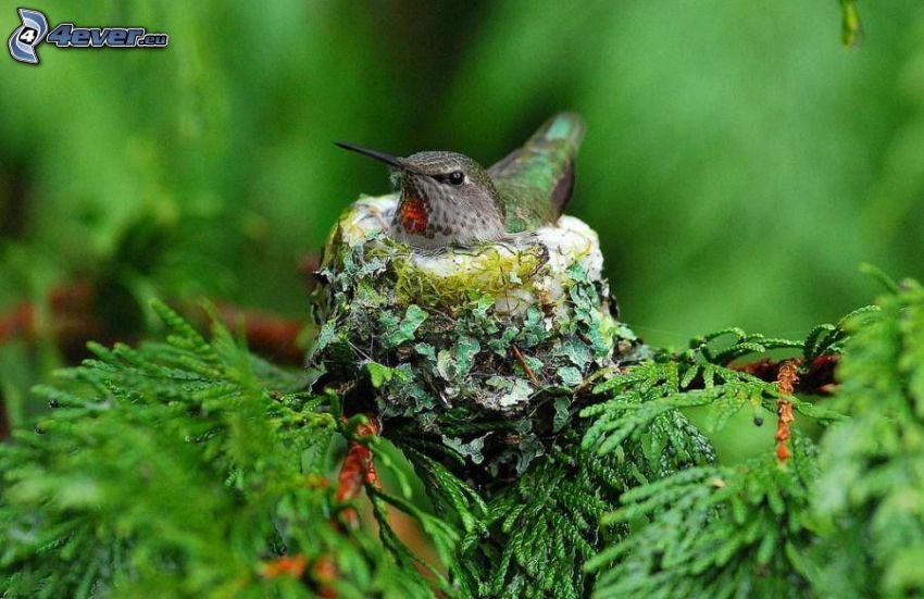 pájaro, nido