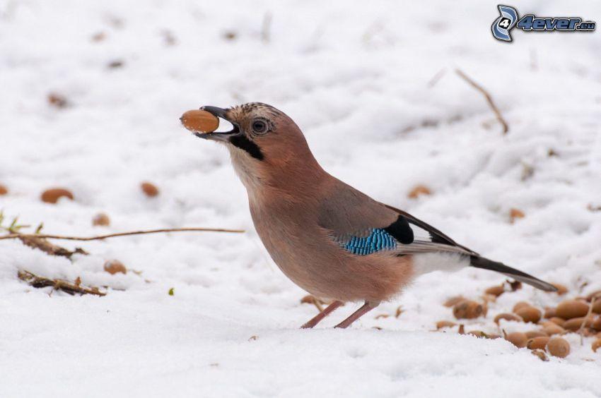 pájaro, nuez, nieve