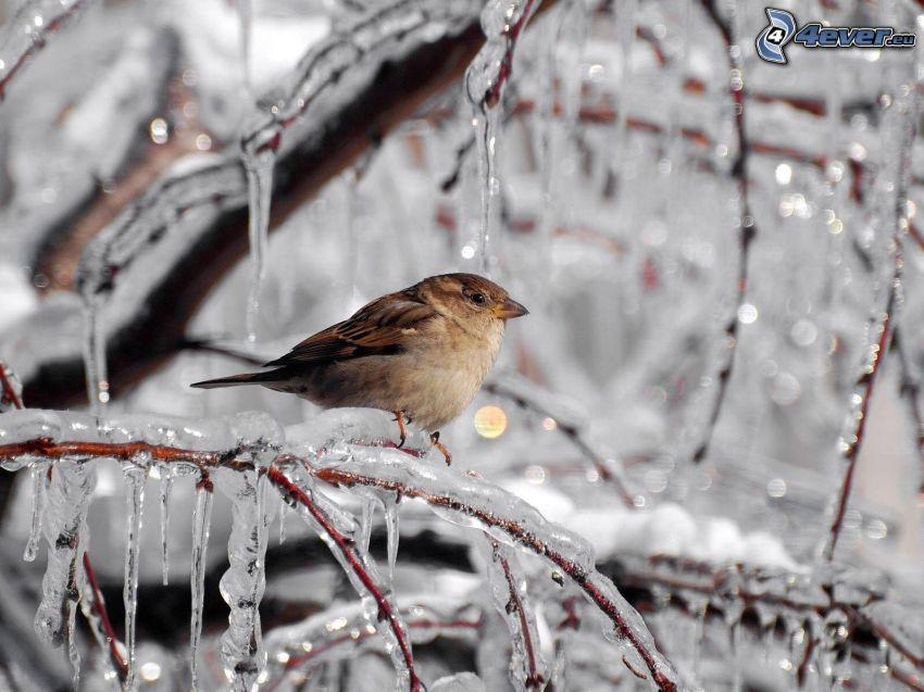 pájaro, ramas congeladas
