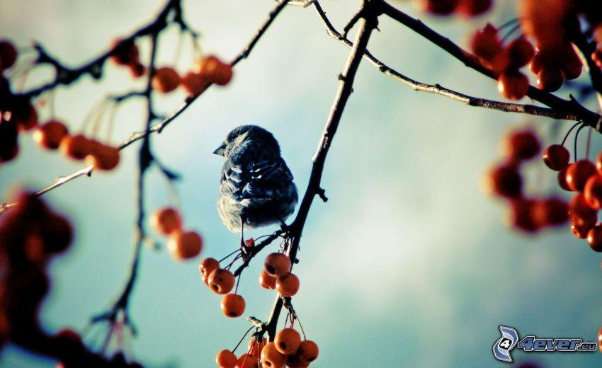 pájaro, ramita, frutas