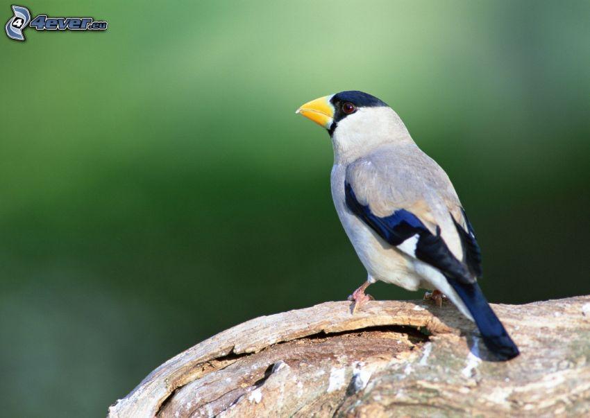 pájaro, tribu