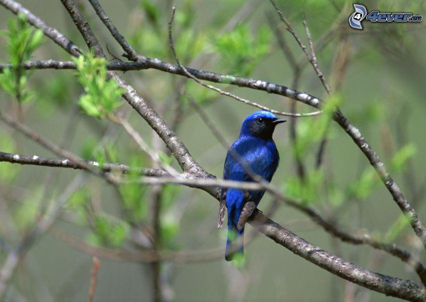 pájaro azul en una rama