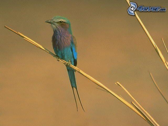 pájaro colorido, hierba seca